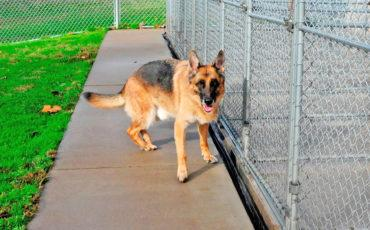 Shepard dog standing by fence