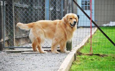 dog standing by fence